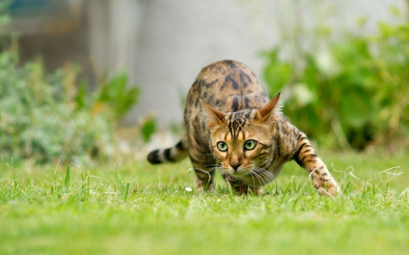 cat-sneak-in-grass