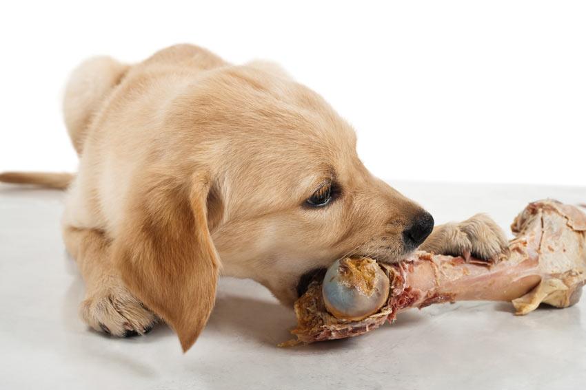 Dog-Dog_Guide-A_Labrador_puppy_chewing_a_raw_bone.jpg
