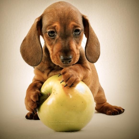 l-Apple-Dog.jpg