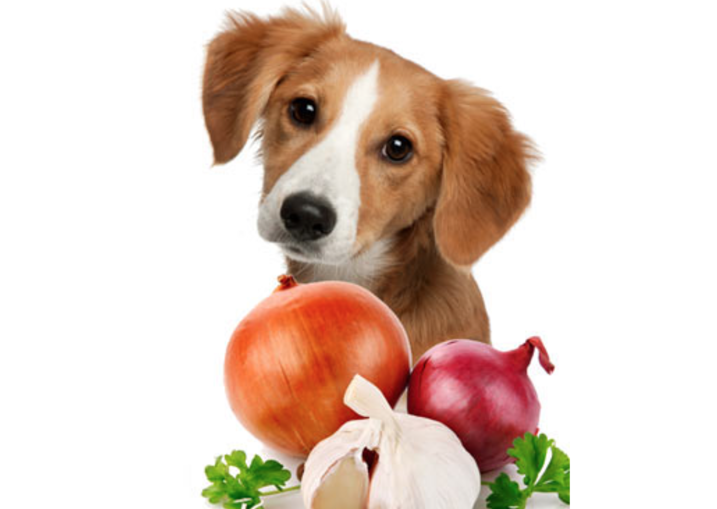 risks-dogs-eating-onions.png