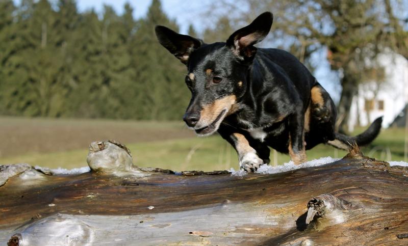 dachshund-2035695_1920