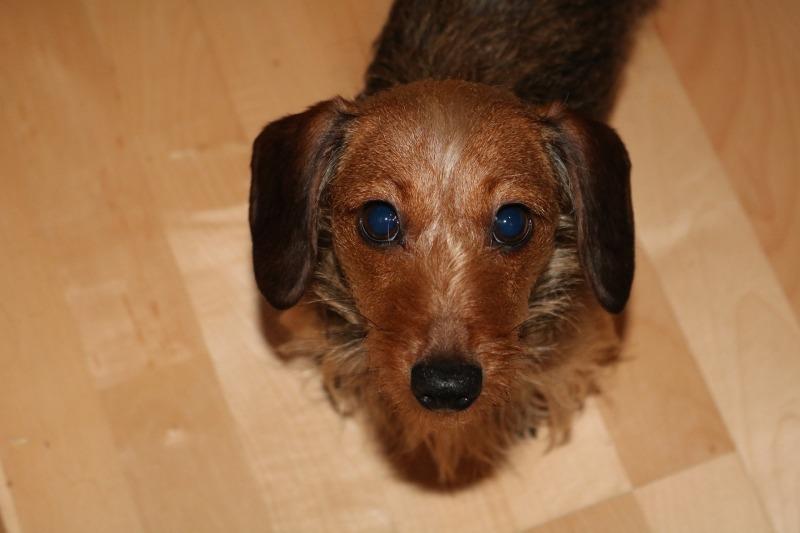 dachshund-2251858_1920.jpg